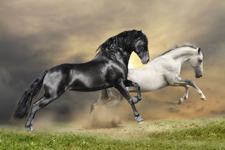 Black White Horses Side Print A Wallpaper More