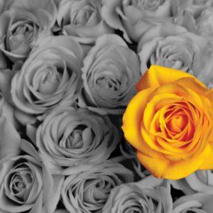 Single_Yellow_Rose_d